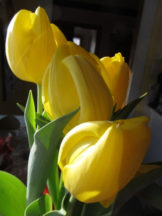 yellow tulips in winter sunlight