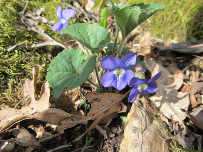 Not white, not on moss -- but a violet, sill!