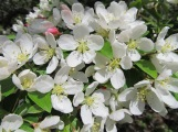 white blooming crabapple