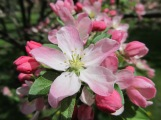 pink tinged crabapple