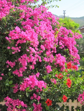 fuchsia bougainvillea too