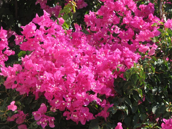 lovely fuchsia bougainvillea