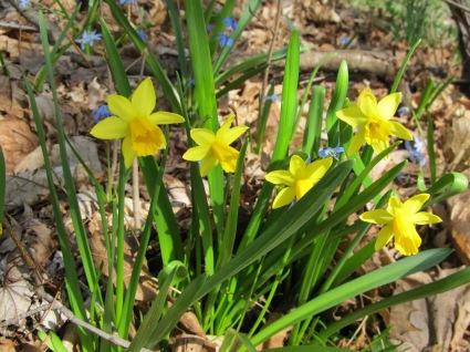 My mini daffodils, TTQ cc