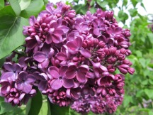 My heirloom lilac, TTQ cc