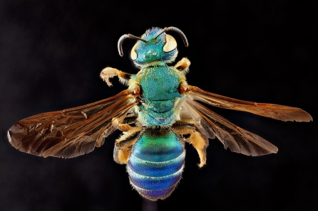 agapostemon splendens. Sam Droege via flickr Creative Commons