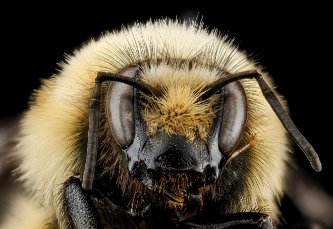 Bombus huntii, Sam Droege via flickr