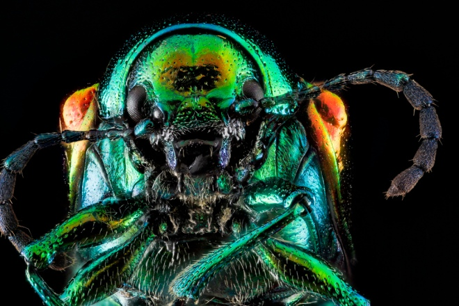 Chrysochus auratus, Sam Droege via flickr