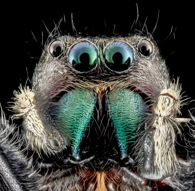 Phiddippus clarus. Sam Droege via flickr