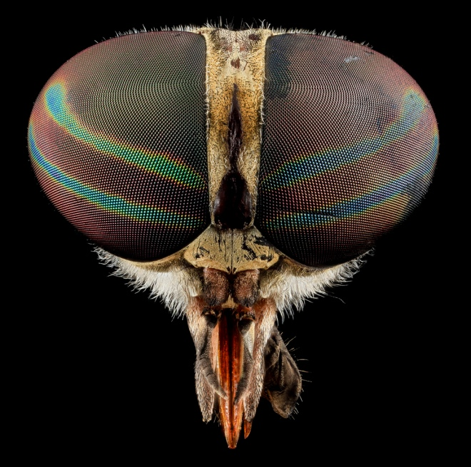 Tabanus Fly, Sam Droege via flickr