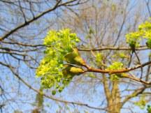 maple tree bloom; photo by quirkyjazz, aka Jill