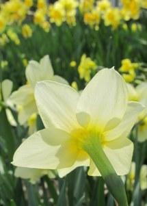 backside daffodil, photo by quirkyjazz, aka Jill