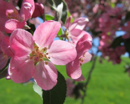 crabapple bloom, Mother's Day in Galena, IL -- photo by quirkyjazz, aka Jill
