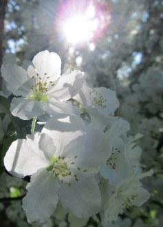 photo by quirkyjazz, aka Jill crabapple blooms