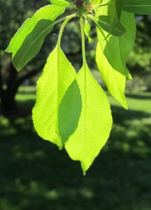 crabapple leaves in spring sunlight