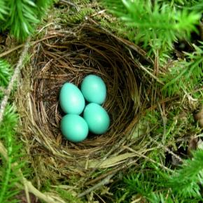 Hermit Thrush eggs image by Ken McFarland via Flickr CC