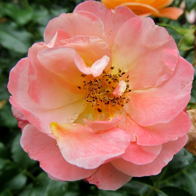 Princeton roses after rain, photo by The Tromp Queen, CC license