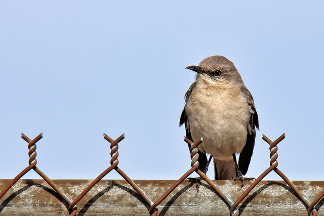 Mockingbird Image by Mark Moschell via Flickr CC license