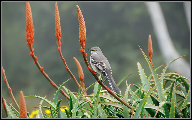 Mockingbird Morning, image by TDlucas5000 via Flickr CC