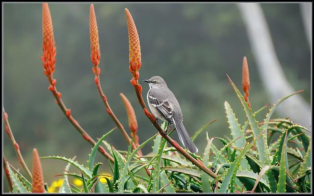 Mockingbird Morning, image by TDlucas5000 via Flickr CC