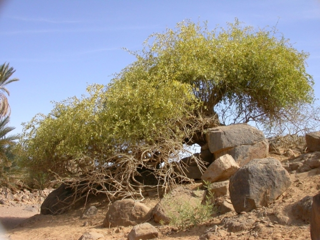 http://www.westafricanplants.senckenberg.de/images/pictures/Salvadora_persica_PBirnb_DSCN1961_105587.JPG
